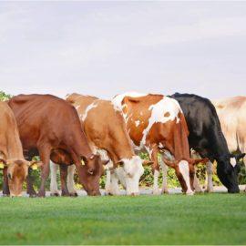 Голштинська порода биків: визначення племінних показників